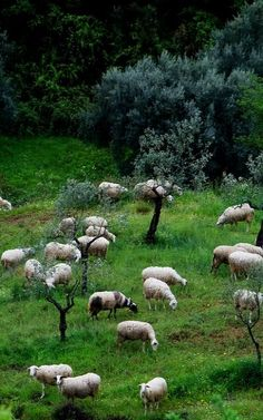 sheep.. Arcadia (Peloponnese), Greece | Flickr - Photo by Macaroons