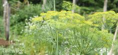 Expert advice on growing bulb and herb fennel for fennel pollen, fennel seeds, and for their health benefits, as well as tips on growing fennel in the garden. Growing Fennel, Growing Mint, Growing Herbs, Vegetable Garden Planner, Veg Garden, Vegetable Gardening, Fennel Pollen, Fennel Seeds, Farm Pictures