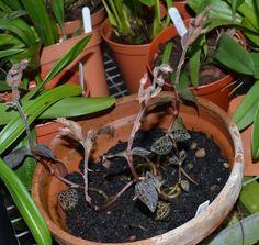Anoectochilus papuanus