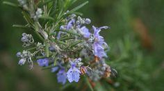 A erva é considerada uma das mais completas em termos de benefícios à saúde. Alecrim