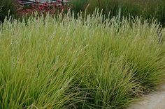 Autumn Moor Grass - good to use to create a meadow