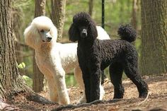 More About The Poodle Puppies Personality Poodle Cuts, Poodle Mix, Poodle Puppies, Poodle Grooming, Grooming Salon, Dog Life, Dog Breeds, Cute Dogs, Your Dog