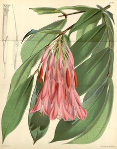 Curtis's botanical magazine.. London ; New York [etc.] :Academic Press [etc.]. biodiversitylibrary.org/page/435943