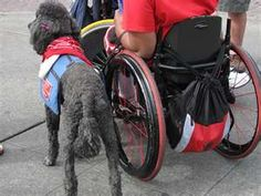 Service dogs are well trained and able to help people perform many different tasks. Turning your dog into a service animal will be no easy feat. Golden Retrievers, Bulldogs, Pugs, Baby Haircut, Disabled People, First Language, Therapy Dogs, Service Dogs, Rescue Dogs