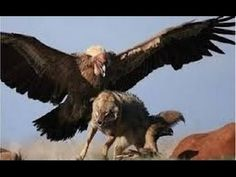 Know comparison, difference and similarity between Andean Condor vs California Condor. Go further compare Andean Condor vs California Condor fight, who will win? Wild Life, Nature Animals, Animals And Pets, Cute Animals, Artic Animals, Angry Animals, Woodland Animals, Beautiful Birds, Animals Beautiful