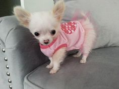 Effective Potty Training Chihuahua Consistency Is Key Ideas. Brilliant Potty Training Chihuahua Consistency Is Key Ideas. Tiny Puppies, Cute Puppies, Cute Dogs, Teacup Chihuahua, Chihuahua Puppies, Beagle Dog, Labradoodle, Baby Animals, Cute Animals