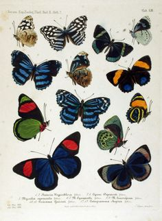 Nymphalidae - Pesquisa Google