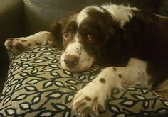 Our English Springer Spaniel lazing on her cushion