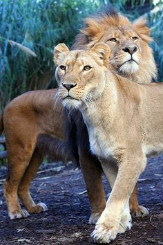 King and Queen of the Jungle