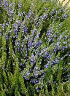 Rosemary isn't just for cooking - it's also a great ornamental plant that does well in the landscape, including drought tolerant gardens.