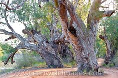 Giant Red Gum Darling River