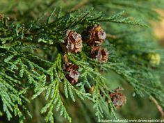 Cyprysik Lawsona - Chamaecyparis lawsoniana