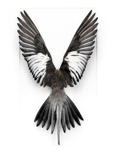 Black Quarrion. Australia.