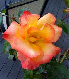 """Playboy""  Rose  Photo by Jan R.Fuller"