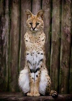 Serval. via: http://whyevolutionistrue.wordpress.com/2013/11/16/the-noble-serval/serval/
