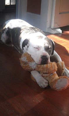 awhh this is what my lucy is gunna look like when she grows up! :) - American Bulldog