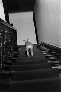 Horace the hare navigates the stairs in home of Cecil S. Webb, director of the Dublin Zoo, 1956 | LIFE With Horace the Housebroken Hare | LIFE.com