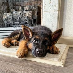 A woman revealed it took DAYS to get her 17 cats and dogs to pose together for a picture Gsd Puppies, Cute Dogs And Puppies, Doggies, Beagle Mix, Beautiful Dogs, Animals Beautiful, Malinois, Schaefer, German Shepherd Puppies
