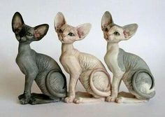 sphynx cat i want one so bad but I already have five cats Kittens Cutest, Cats And Kittens, Cute Cats, Chat Sphynx, Hairless Cats, Siamese Cats, Beautiful Cats, Animals Beautiful, Baby Animals