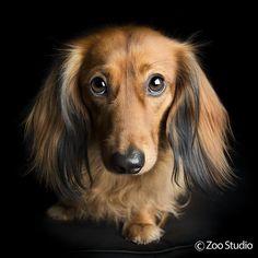 Long Haired Dachshund Bertie : Zoo Studio – Pet Photography Brisbane