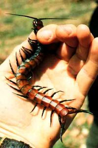 Socotran surprise. Is this Scolopendra balfouri, or S. valida? Or siomething totally new? Consult the expert, Wolfgang Wranik, who made several visits to the unique island between 1982-1999, each of one to four weeks. Fauna of the Socotra Archipelago - Field guide (2004, 540 pp., illustrated with 760 colour photographs, covering some 100 species; € 79,00), Order Details: Universitätsdruckerei Rostock, Zum Laakkanal 20, 18109 Rostock, Germany; e-mail: uni-druckerei@verwaltung.uni-rostock.de