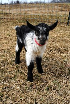 ►Adorable baby goat Leonardo taking a walk through the field. Check it out: http://gmsoap.co/1AiC4qO #goats #GMSKids #babygoats