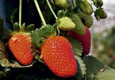 Horta em casa - Como plantar morango