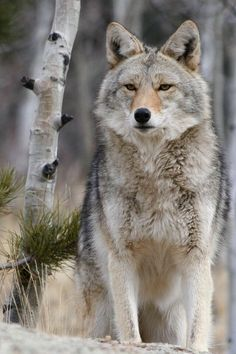 Beautiful and this wolf blends in with its surroundings ;-)