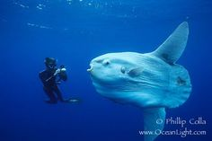 Ocean sunfish. I watched a TED lecture on these fish...amazing creatures