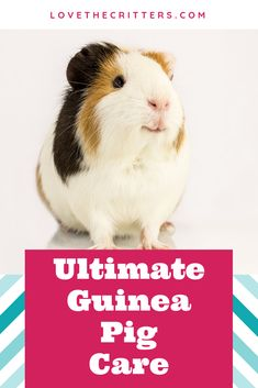 How To Take Care Of A Guinea Pig For Beginners 9
