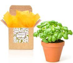 Planta aromática Terracota