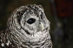 Barred Owl.2. by *HecklingHyena on deviantART