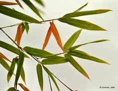 fall bamboo leaves, via Flickr.