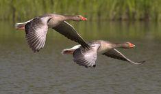Beware The Geese At UWGB #odyssey #uwgb #geese #writing