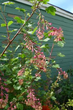 Red Flowering Currant | Portland Monthly >> ribes sangineum.  6'-10' tall, 6'-8' wide.  Bushy and rou nded in full sun.  Open and rangy in shade.  Dappled light or full sun.  Well adapted to PDX dry summer climate.  forest margin plant.