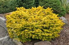 Abies nordmanniana Golden Spreader: The bright, golden yellow of this low, spreading fir is especially striking in winter when much of the gardens color has faded. During the rest of the year, the versatile, useful plant brightens areas of partial shade. Ornamental Trees, Dwarf Trees, Landscaping Plants, Plants, Conifers Garden, Conifers, Garden Shrubs, Outdoor Gardens, Dwarf Conifers