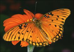 The Gulf Fritillary enjoys nectar from lantana plants (a tropical shrub), the sprawling annual shepherd's needle and cordias, another plant that likes warm weather.