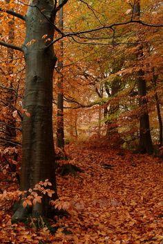 Beech Wood, Mountain Ash, Wales Copyright: Gerwyn Gibbs