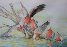 Denise Dean, painter. Galahs Drinking. Australian flora and fauna inspire the beautiful artworks of Denise Dean. Denise is an artist, graphic designer as well as an illustrator! She is exhibiting with us this year at Kathleen Berneys Studio, 31 Bloodwood Rd Arcadia.