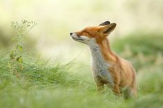 Zen Foxes: Photographer Documents Wild Foxes Enjoying Themselves. hese photos by Roeselien Raimond, a Dutch nature photographer who specializes in taking beautiful photos of wild foxes, show how foxes are experts at enjoying the little things in life. Happy Animals, Animals And Pets, Cute Animals, Most Beautiful Animals, Beautiful Creatures, Wolf Hybrid, Foxes Photography, Nature Photography, Fox Art