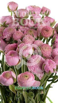 Ranunculus Aazur Pink