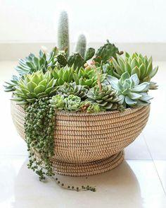 21 Succulents in a basket suculentas Planting Succulents, Dish Garden, Succulent Terrarium, Mini Garden, Succulent Gardening, Succulent Planter, Succulents, Plants, Planting Flowers