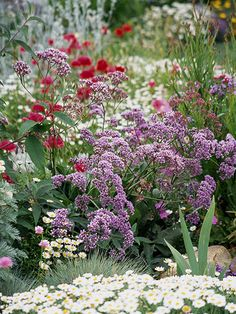 Sea Lavender    Light:Sun,Part SunZones:7-9Plant Type:PerennialPlant Height:To 2 feet tallPlant Width:To 2 feet wideLandscape Uses:Containers,Beds & BordersSpecial Features:Attractive Foliage,Fall Color,Winter Interest,Cut Flowers,Dried Flowers,Attracts Birds,Attracts Butterflies,Drought Tolerant,Deer Resistant,Easy to Grow