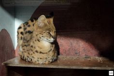 Serval in Rotterdam Zoo. by Anne Marleen Olthof on 500px