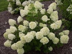 Proven Winners - Little Lime® - Panicle Hydrangea - Hydrangea paniculata green pink green, turning pink in fall plant details, information and resources. Dwarf Hydrangea, Limelight Hydrangea, Hydrangea Care, Hydrangea Flower, Hydrangea Paniculata, Summer Flowers, Pink Flowers, Beautiful Flowers, Hydrangeas For Sale