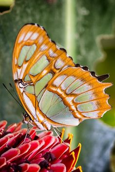 Malachite butterfly by Kim Schandorff on 500px