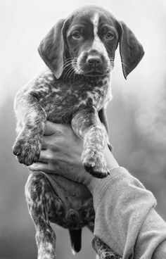 German Shorthair Pointer puppy in b&w Gsp Puppies, Pointer Puppies, Pointer Dog, Cute Puppies, Cute Dogs, German Pointer Puppy, German Shorthaired Pointer, Mundo Animal, Hunting Dogs