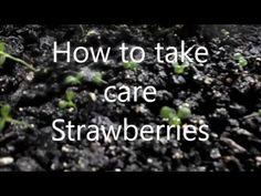 Fresas y como hecharle agua