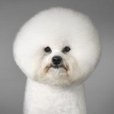 Love Bichon Frise dogs...but not sure if I love the round head.  I've seen them cut more like a poodle (without the weird ears or leg thing) and think I like that better