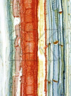 microscopic view of tree cells Microscopic Photography, Macro Photography, Organic Structure, Organic Form, Tree Structure, Natural Forms, Natural Texture, Patterns In Nature, Textures Patterns